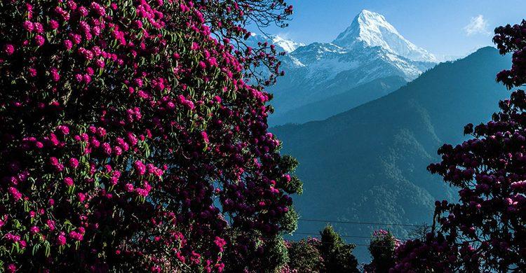 beautiful-rhododendron-poonhill-destination-management-inc-best-trip-photos-dmi-nepal